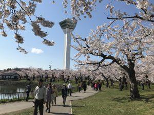 桜,五稜郭タワーの桜,函館の桜