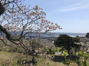 松前城,桜