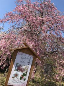 松前城,しだれ桜