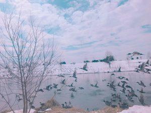 永山新川,白鳥,旭川,カモ